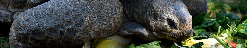 Tortue-qui-mange-les-restes-biodéchets-des-supermarchés-contre-le-gaspillage